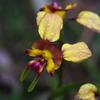 donkey_orchid_002