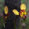 donkey_orchid_004_t.jpg