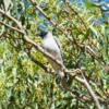 black-faced_cuckoo-shrike_028