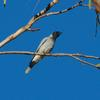 black-faced_cuckoo-shrike_029