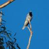 black-faced_cuckoo-shrike_030