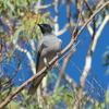 black-faced_cuckoo-shrike_033