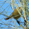 brown_thornbill_007