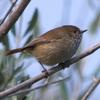 brown_thornbill_009