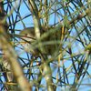 brown_thornbill_005_t.jpg