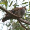 brush_bronzewing_003