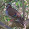 brush_bronzewing_004