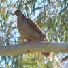 brush_bronzewing_002_t.jpg