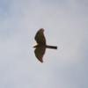 collared_sparrowhawk_013
