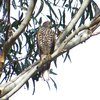 collared_sparrowhawk_007_t.jpg
