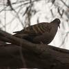 common_bronzewing_018