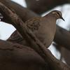 common_bronzewing_019