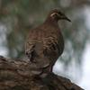 common_bronzewing_020