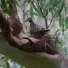 common_bronzewing_022