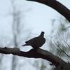 common_bronzewing_023
