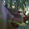 common_bronzewing_025