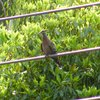 common_bronzewing_007_t.jpg