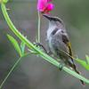 crescent_honeyeater_018