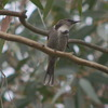 crescent_honeyeater_019