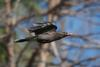 grey_currawong_020