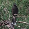 grey_currawong_022