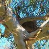 grey_currawong_023