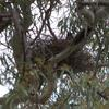 grey_currawong_025