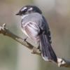 grey_fantail_029