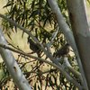 grey_shrike-thrush_005_t.jpg