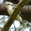 laughing_kookaburra_046