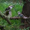 laughing_kookaburra_054