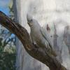 little_corella_049_t.jpg