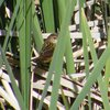 little_grassbird_002_t.jpg