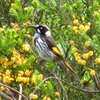 new_holland_honeyeater_041_t.jpg
