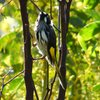 new_holland_honeyeater_058