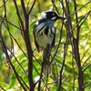new_holland_honeyeater_059