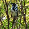 new_holland_honeyeater_060