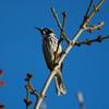 new_holland_honeyeater_065