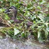 pacific_black_duck_049_t.jpg