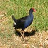 purple_swamphen_010_t.jpg