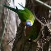 rainbow_lorikeet_065