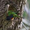 rainbow_lorikeet_066