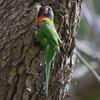 rainbow_lorikeet_068