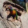 rainbow_lorikeet_080