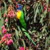 rainbow_lorikeet_081