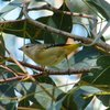 spotted_pardalote_014