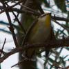 striated_pardalote_025