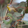 striated_pardalote_029