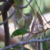 striated_thornbill_008