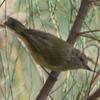 striated_thornbill_009